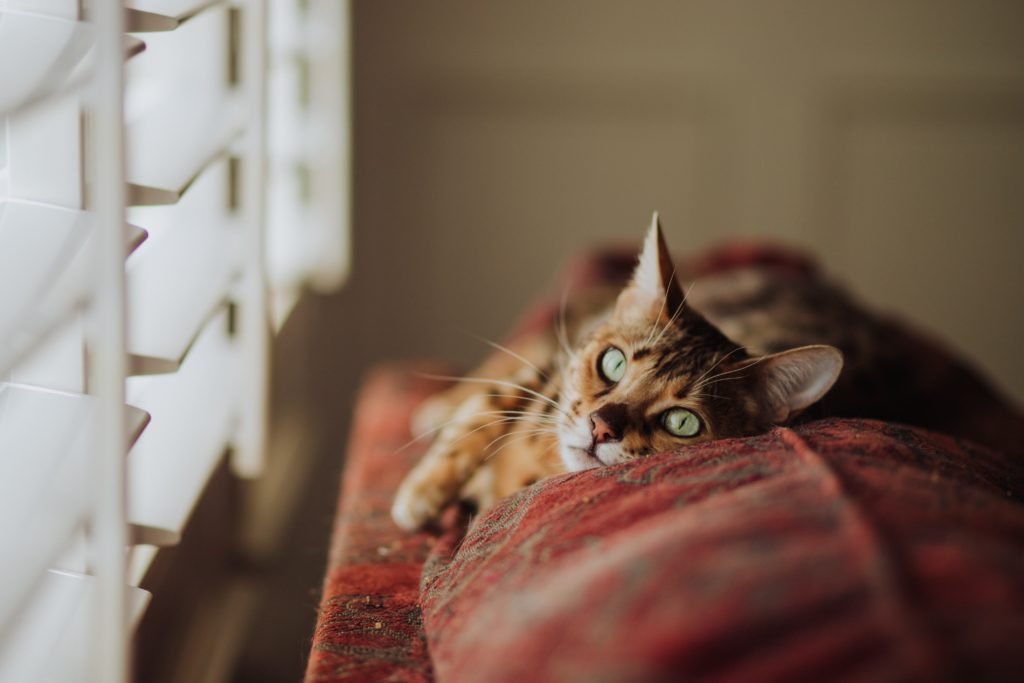 Kattenpis